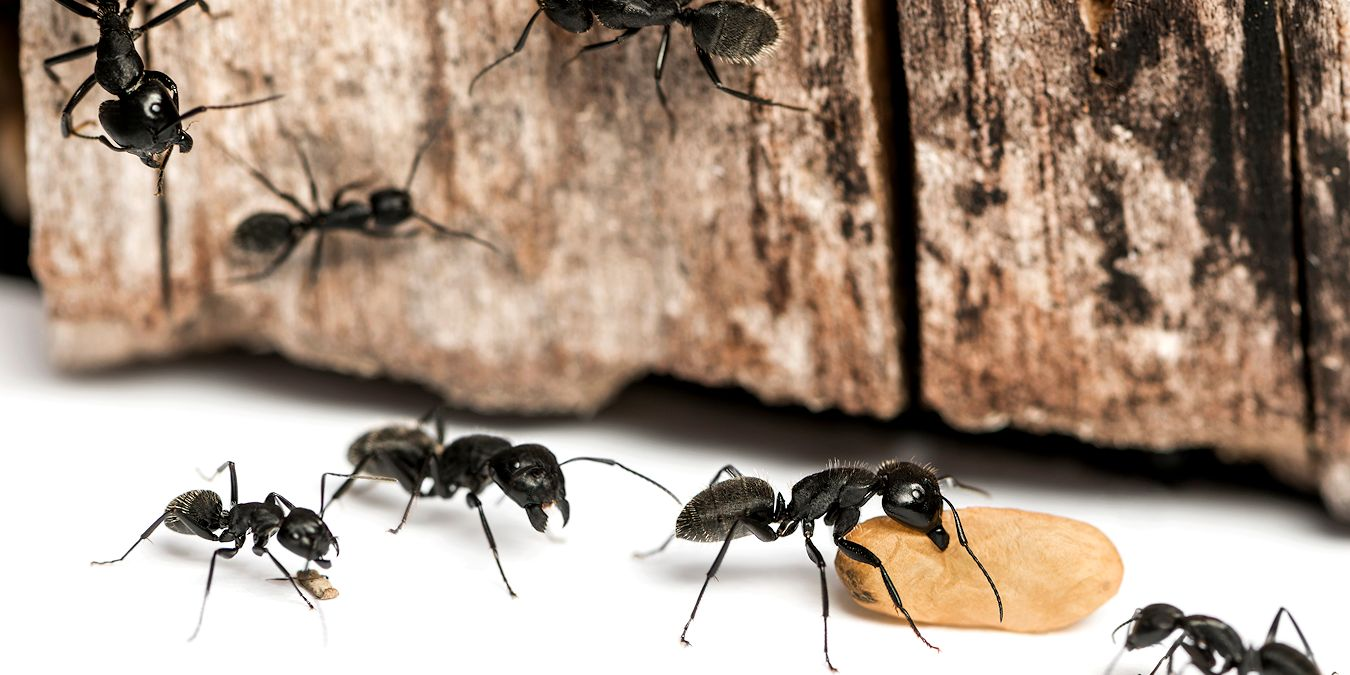 Ant Control Services Company - Pest Off Pest Control - Sherman Texas