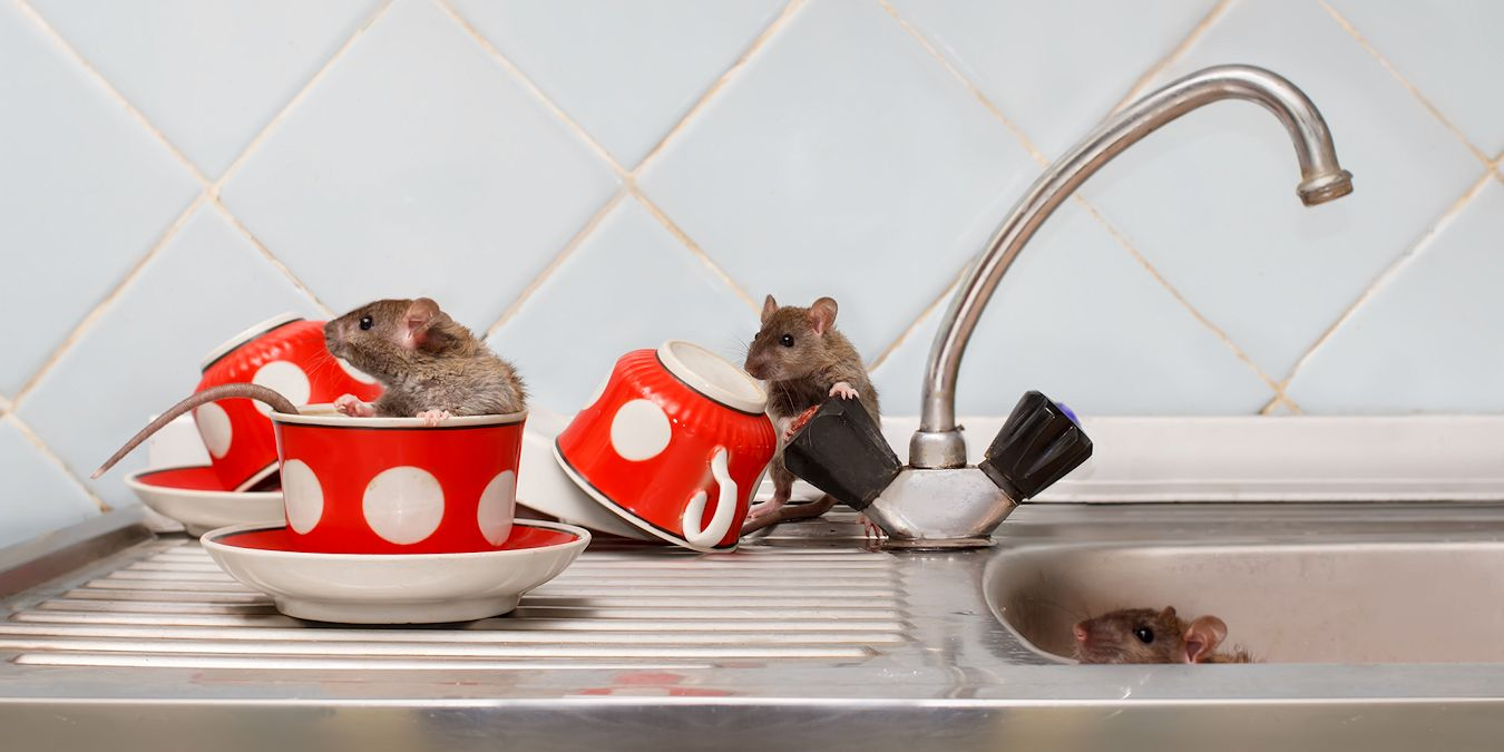 'Rodent Control Services by Pest Off Pest Control based in Sherman Texas
