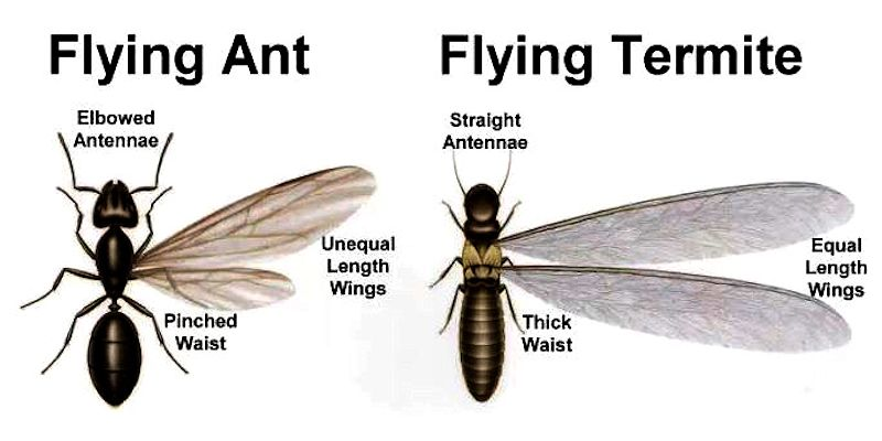 What do I do if I see winged insects that look like termites? - Pest Off Pest Control based in Sherman Texas