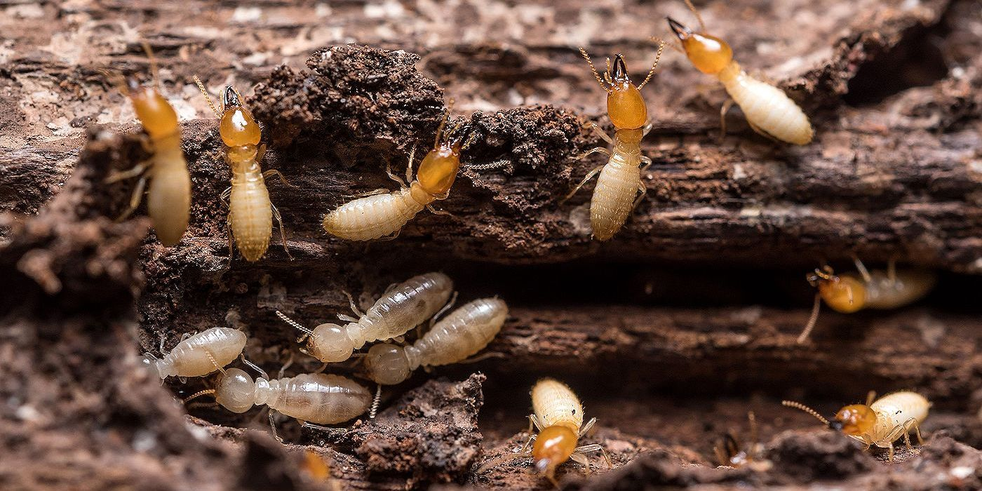 Subterranean Termites Prevention And Control In Buildings Pest Control