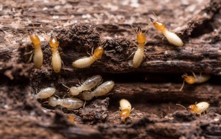 Subterranean Termites Prevention and Control in Buildings - Pest Off Pest Control
